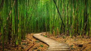 A path winds through a bamboo forest in Haleakala Maui, Hawaii.
